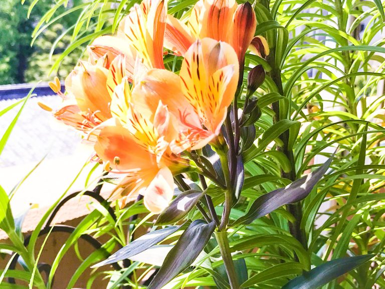 Alstroemeria 'Summer Breeze'